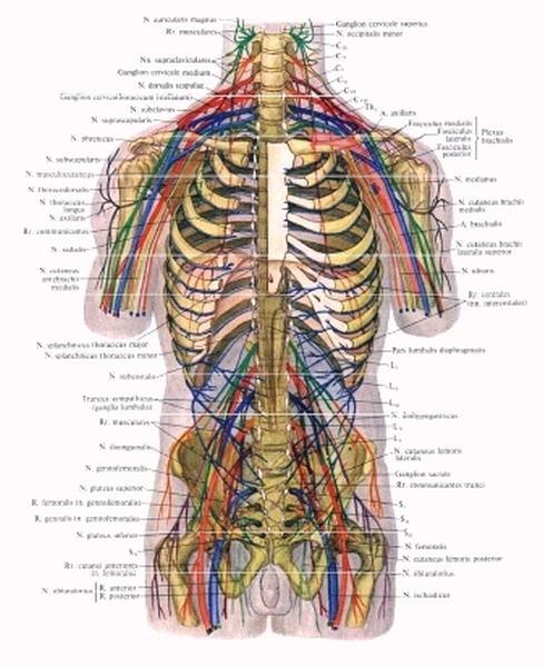 Содержание холинэстеразы в мышцах