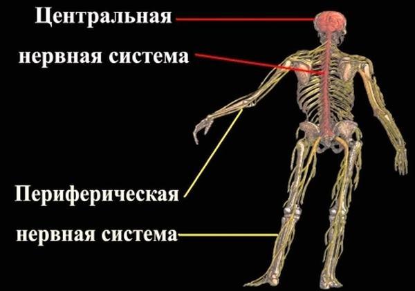 Передача нервного импульса