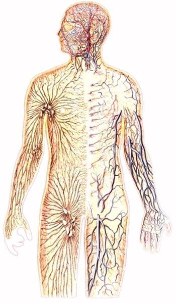Функционирование мышечного волокна