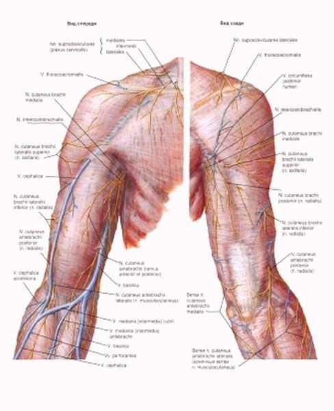 Тоничность после перерезки нерва