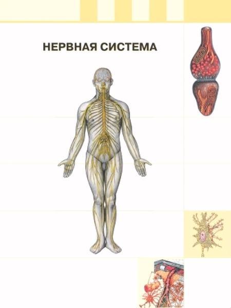 Хеморецептивные свойства миосимпластов