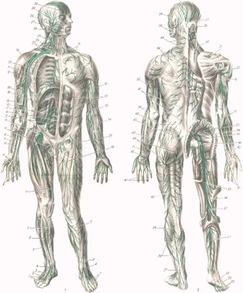 Сенсибилизированная мышца