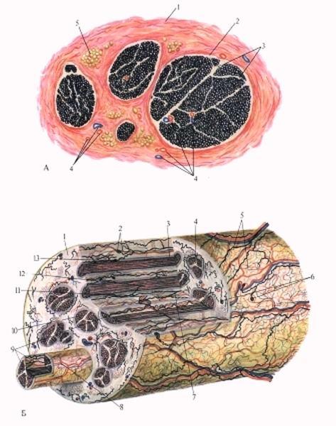 Избирательная реактивность мышечных клеток
