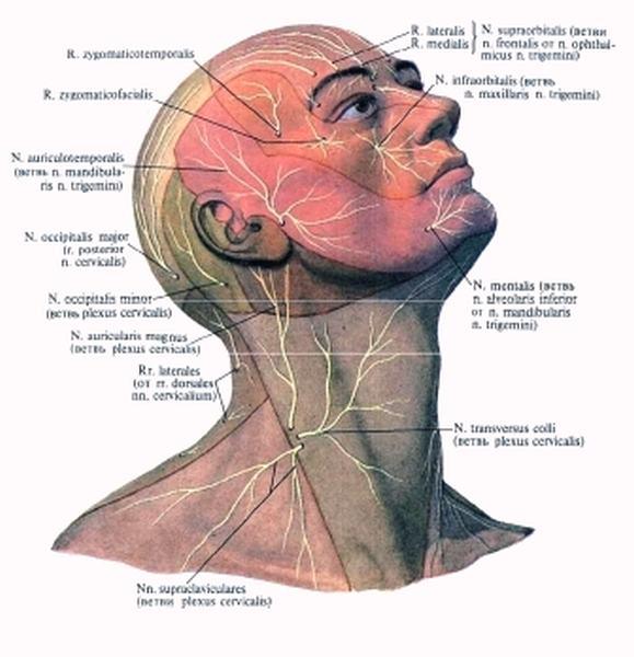 Соматические мышечные волокна