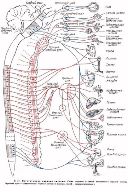 Мышцы тонические и нетонические