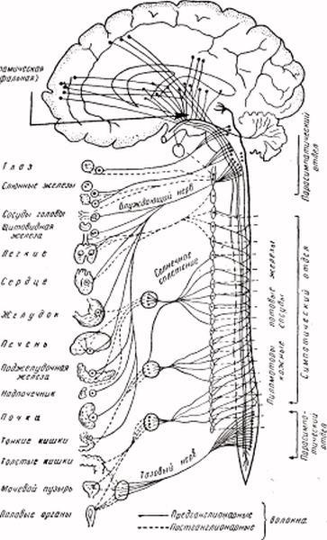 Возрастание ацетилхолина и холинэстеразы