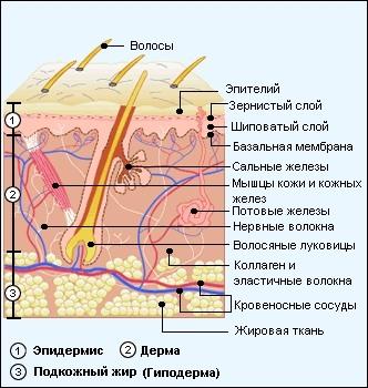 Диаметр основания гепатоцитов