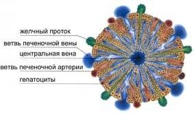 Эндотелиоциты и макрофаги