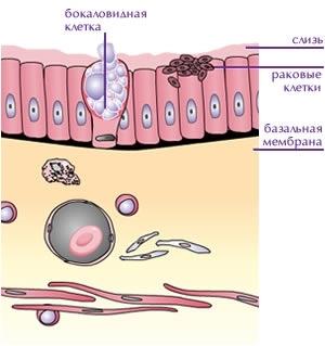 Форма гепатоцита