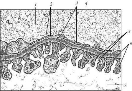 Форма гепатоцитов и особенности структурной связи их с базальной мембраной