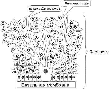 Формы эндотелиоцитов дольки печени