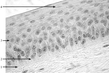 Камбиальные резервы и пути гетерохронического развития эндотелиоцитов дольки печени