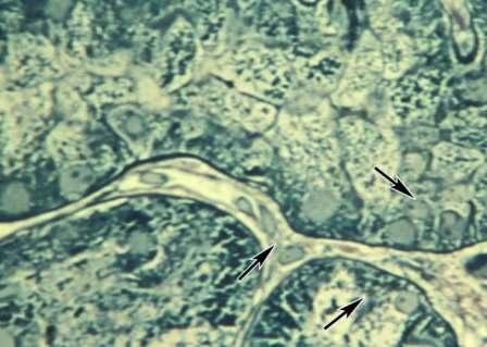 Контакты трехотростчатых эндотелиоцитов