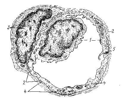 Концепции балочного и пластинчатого расположений гепатоцитов и некоторые нерешенные вопросы экскреторной функции печени