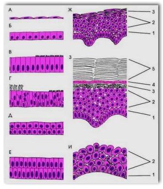 Контуры стенки кровеносных путей