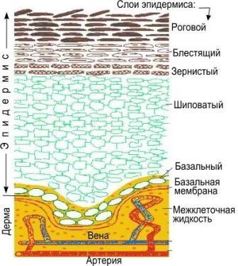 Линейно расположенные ряды гепатоцитов