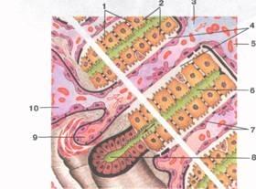 Отграничения углублений гепатоцитами
