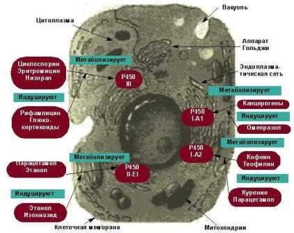 Пероксидатическая активность в эндотелиоцитах дольки печени