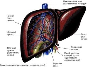 Представление о балочном расположении гепатоцитов