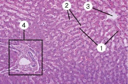 Представления о кровеносных и лимфатических путях