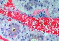 Секреция околоушной железы крысы