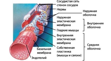 Способ участия волокнистых образований в составе желчевыделительных путей дольки печени