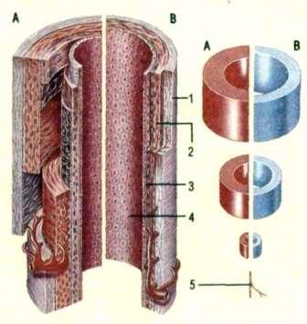 Транспорт во внутридольковой части экскреторной системы печени