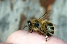 Что такое апитерапия (пчелолечение)?