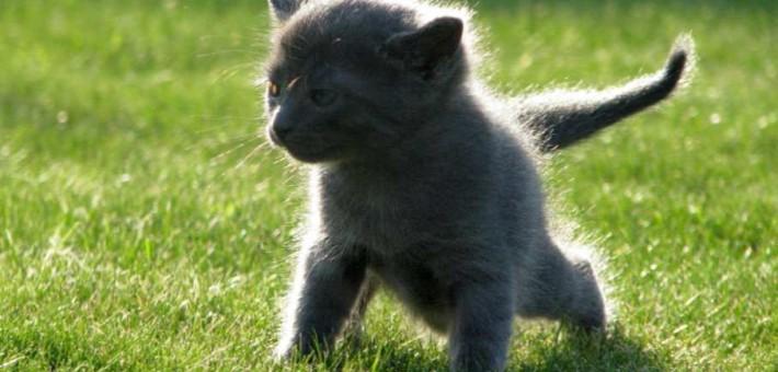 Где можно узнать про русских голубых кошек?