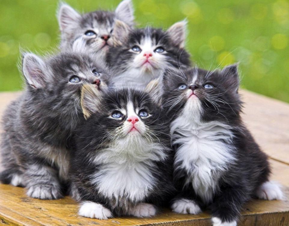 Рвота с кровью у кошек
