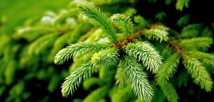 Где выбрать живую новогоднюю елку в Санкт-Петербурге?